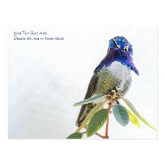 Postcard: Costa's Hummingbird Postcard
