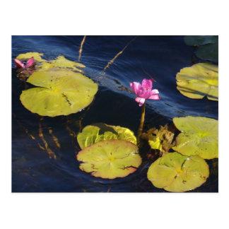 Postcard - Florida Water Lily