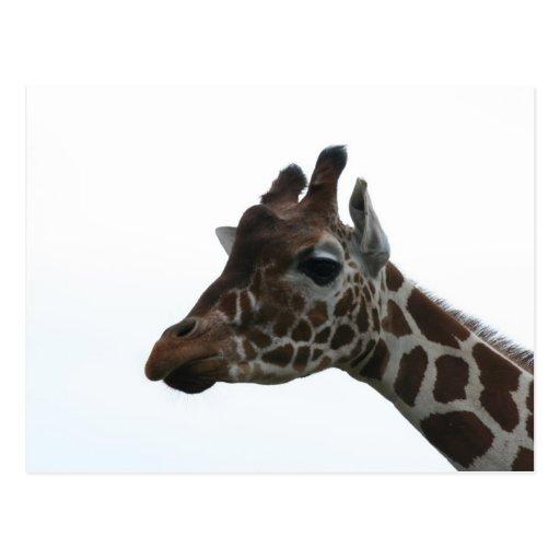 Postcard: Giraffe