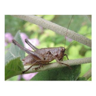 Postcard grasshopper