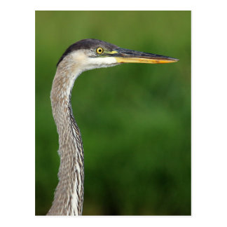 Postcard - Great blue heron portrait
