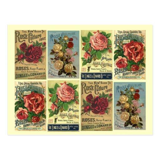 Postcard Heirloom Roses Vintage Rose Culture Ads
