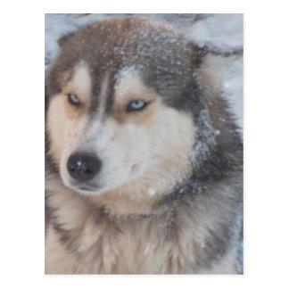 Postcard Husky Blue Eyes