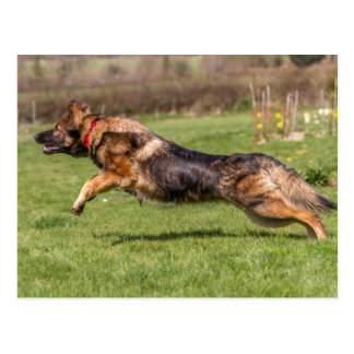 Postcard leaping German Shepherd Dog Alsatian