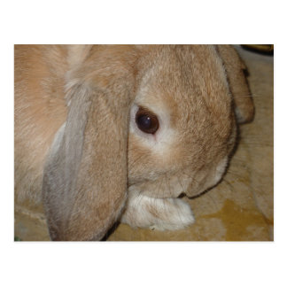 Postcard - Lop Eared Dwarf Rabbit