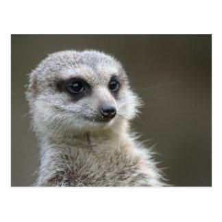 Postcard: Meerkat