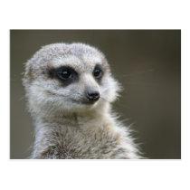 Postcard: Meerkat Postcard