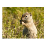 Postcard of cute ground squirrel eating