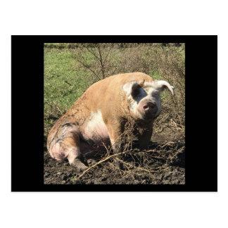 Postcard of Sheila. My Big Fat Pig