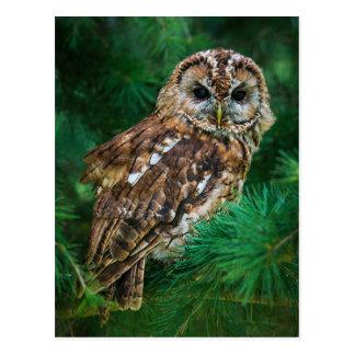 Postcard of tawny owl in a fir tree
