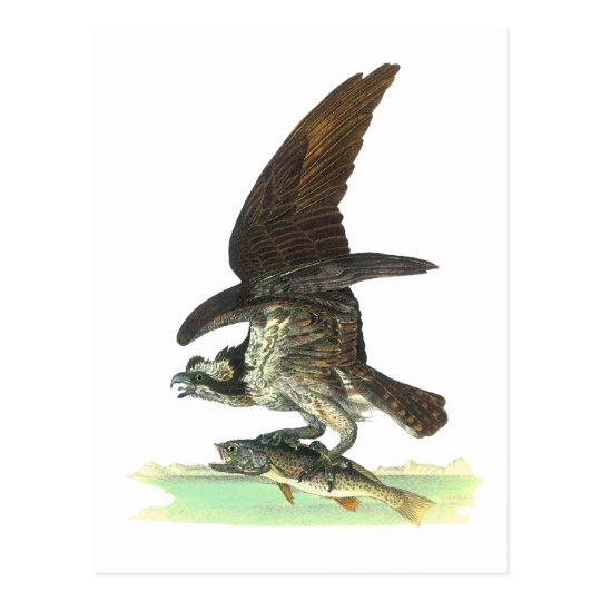 Postcard: Osprey - John Audubon Postcard