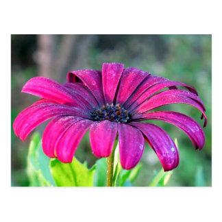 Postcard: Osteospermum (African Daisy) Postcard