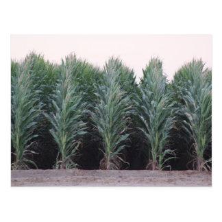 Postcard Photography of an Arizona cornfield