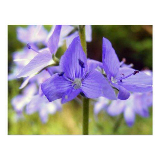 Postcard, Pretty Purple Wildflowers Photo