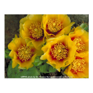 Postcard / Prickly Pear Cactus