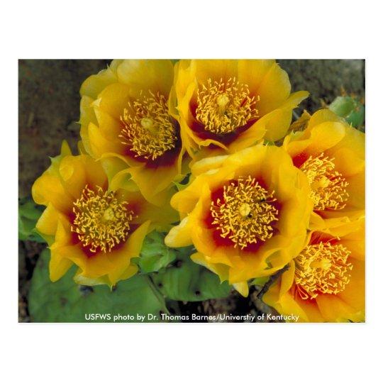 Postcard / Prickly Pear Cactus