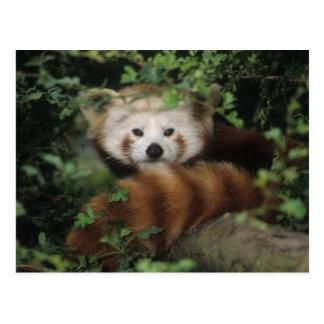 Postcard - red panda