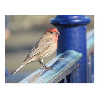 Postcard - Red Sparrow on Blue fence