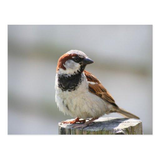 Postcard: Sparrow Tarjeta Postal