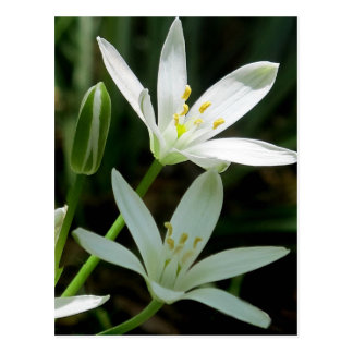 Postcard: Star-of-Bethlehem (Flower) Postcard