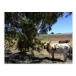 Postcard: Steer under tree in Paso Robles, CA