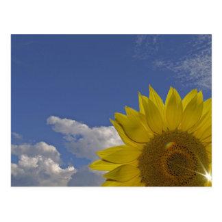 Postcard sunflower