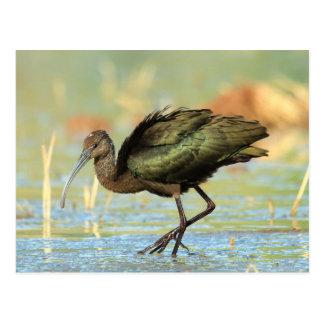 Postcard - White-faced ibis