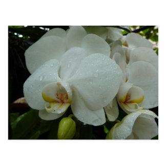POSTCARD - White orchid Bali