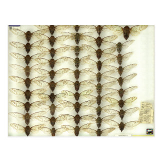 Postcard with Cicadas