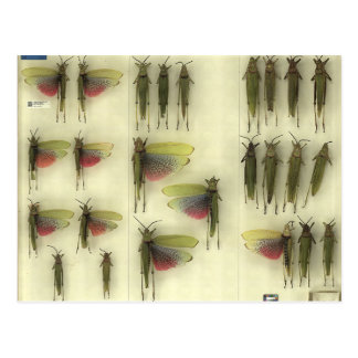 Postcard with Grasshoppers