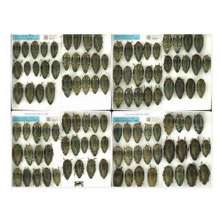 Postcard with Jewel beetles