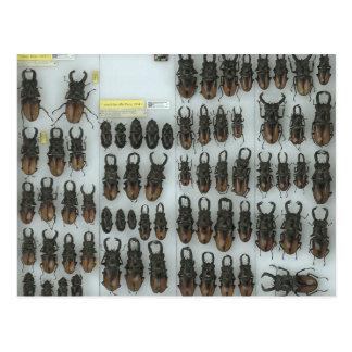 Postcard with stag beetles