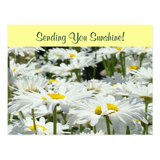 Postcards Sending You Sunshine! White Daisies