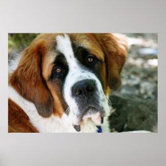 poste del perro de St Bernard Poster