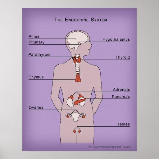 poster 16x20 del sistema endocrino