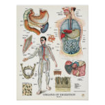 Poster 18 x 24 de la anatomía del sistema digestiv