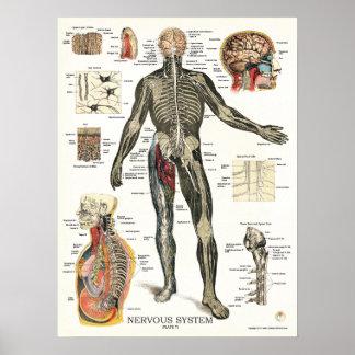 Poster 18 x 24 de la anatomía del sistema nervioso
