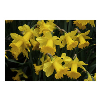 """Poster, """"A Medley of Daffodils"""""""