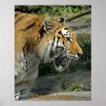 Poster abierto de la boca del tigre