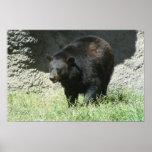 Poster adaptable del oso negro
