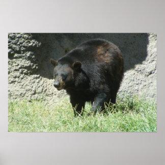 Poster adaptable del oso negro póster