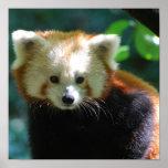 Poster adorable de la panda roja