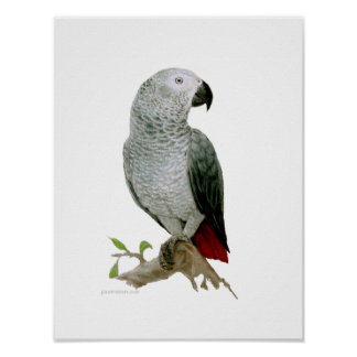 Poster - African Grey