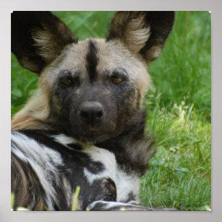 Poster africano del perro salvaje póster