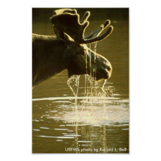 Poster alces