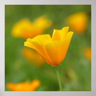 Poster amarillo de la amapola de California
