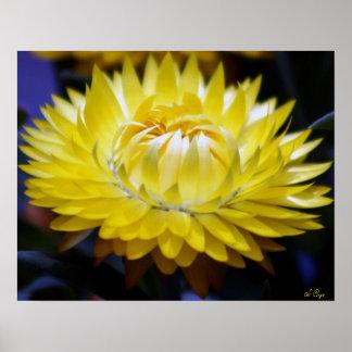 Poster amarillo de Strawflower, S Cyr