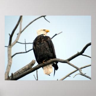 Poster americano de Eagle calvo