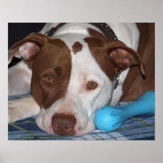 Poster americano de Terrier de pitbull