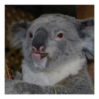 Poster amistoso de la koala